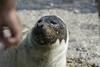 Una foca en la playa de Torrenueva